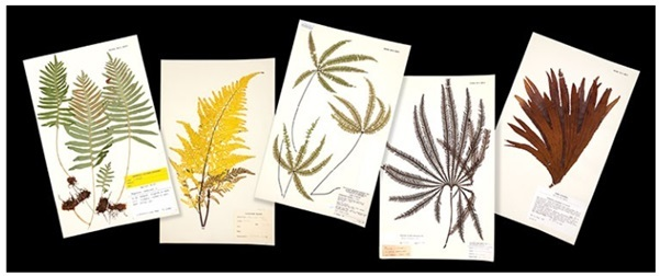 Pressed flowers   ferns